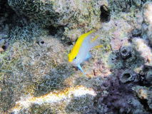 Tropical fish on the coral reef Royalty Free Stock Image