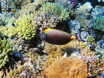 Tropical fish on the coral reef Royalty Free Stock Photo