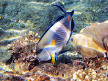 Tropical fish on the coral reef Royalty Free Stock Images