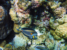 Tropical fish on the coral reef Royalty Free Stock Photography