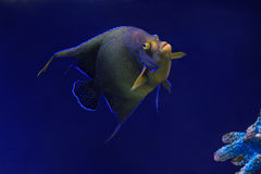 Tropical Fish on a coral reef. Underwater Stock Photography