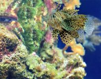 Tropical Fish on a coral reef. Big tropical Fish on a coral reef Royalty Free Stock Image
