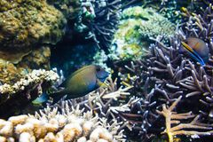 Tropical fish in coral reef, blue ocean. Tropical fish in coral reef, blue sea Stock Images