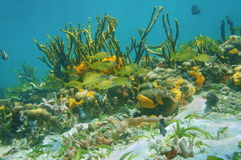 Tropical fish on a coral reef with colorful sponge Royalty Free Stock Photo