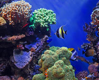 Tropical fish and coral reef. Colorful tropical fish swimming over coral reef with blue sea background Stock Photography