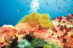 Tropical Fish on Coral Reef for diving at South West Pinnacle on Royalty Free Stock Photo