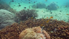 Coral reef and tropical fish. Philippines, Mindoro. Tropical fish on coral reef at diving. Wonderful and beautiful underwater world with corals and tropical stock footage