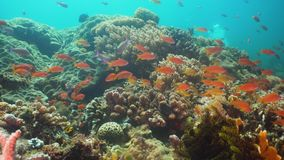 Coral reef and tropical fish. Philippines, Mindoro. stock footage