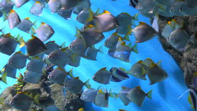 Tropical Fish on a coral reef. Group oftropical Fish on a coral reef stock video footage