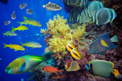 Tropical Fish and Coral Reef. On Red Sea Royalty Free Stock Photo