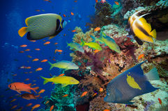 Tropical Fish and Coral Reef. On Red Sea Royalty Free Stock Images