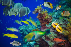 Tropical Fish and Coral Reef Stock Image