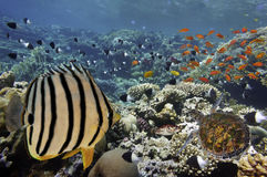 Tropical Fish on Coral Reef in the Red Sea Stock Image