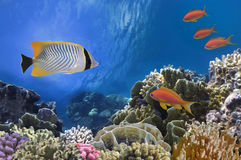 Tropical Fish on Coral Reef in the Red Sea Royalty Free Stock Photography