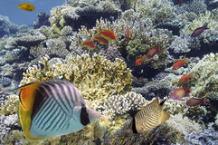 Tropical Fish on Coral Reef in the Red Sea Stock Photos