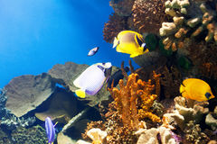Tropical fish at coral Royalty Free Stock Image