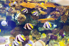 Tropical fish at coral reef. In sea water Stock Image