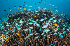 Tropical Fish and Coral Reef. Small, colorful reef fish flutter above a coral colony on a reef in the Philippines. This area is known for its beautiful coral Royalty Free Stock Photo