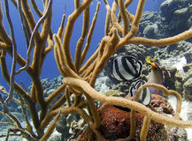 Tropical Fish on a Coral Reef. Tropical fish on a reef in soft coral Royalty Free Stock Photos