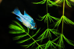 Tropical Fish on a coral reef underwater. Image of a tropical Fish on a coral reef underwater Royalty Free Stock Images
