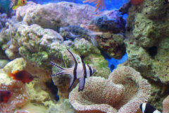 Tropical Fish on a coral reef Royalty Free Stock Images