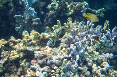 Tropical fish in coral reef underwater photo. Coral fish in natural environment. Coral fish undersea