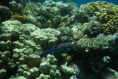 Tropical Fish on Coral Reef. Underwater world with coral  and tropical fish Royalty Free Stock Images