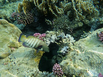 Tropical Fish on Coral Reef. Underwater world with coral  and tropical fish Stock Photos