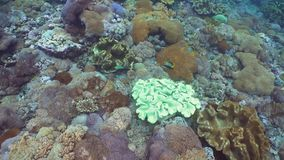 Coral reef and tropical fish. Bali,Indonesia. Tropical fish on coral reef. Wonderful and beautiful underwater world with corals and tropical fish. Hard and soft stock video footage