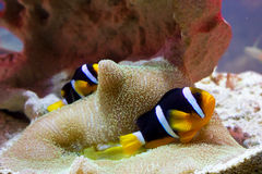Tropical fish in coral shelter Stock Image