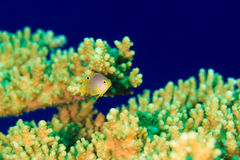 A tropical fish and coral Royalty Free Stock Photos