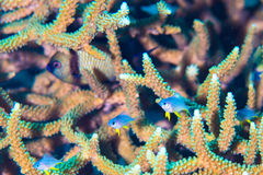 Tropical fish and coral Royalty Free Stock Image