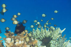 Tropical fish and coral Stock Photography