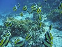 Tropical fish and corals. Tropical Fish and coral reef in the Red Sea Royalty Free Stock Photography