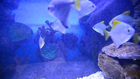 Tropical fish and corals in aquarium undervater stock video footage