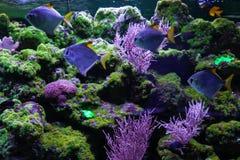 Tropical fish and corals close up. Silver moonfish, monodactylus argenteus Stock Photos
