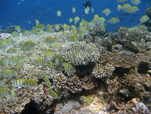Tropical fish and corals. Many small tropical fish swimming over a coral reef, in a blue and transparent water. The fish are yellow with dark stripes. The scene Royalty Free Stock Image