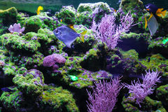 Tropical fish and corals. Silver moonfish, monodactylus argenteus Stock Photo