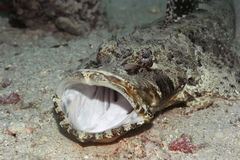 Tropical fish crocodilefish Royalty Free Stock Images