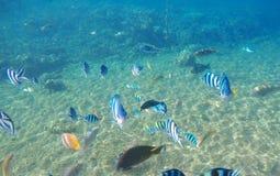 Tropical fish Dascillus by sand sea bottom. Tropical seashore life Stock Image