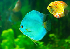Tropical fish. Tropical discus fish on green background Royalty Free Stock Images