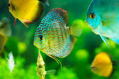Tropical fish. Tropical discus fish on green background Stock Images
