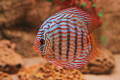 Tropical fish discus (Symphysodon) Royalty Free Stock Photo