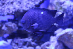 Tropical fish domino damsel Royalty Free Stock Photography