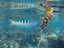 Tropical fish eating marine plant. Close to the surface Royalty Free Stock Photos
