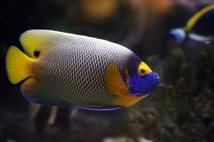Tropical fish Euxiphipops xanthometapon Stock Photo