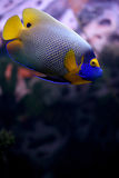 Tropical fish Euxiphipops xanthometapon Royalty Free Stock Photos