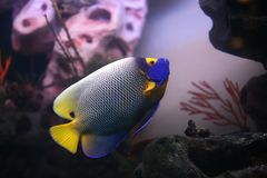 Tropical fish Euxiphipops xanthometapon Stock Photography