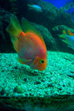 Tropical fish feeding. A tropical fish on the sea of Eilat, Israel Royalty Free Stock Image