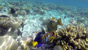 Tropical fish feeding on a shallow coral reef stock footage